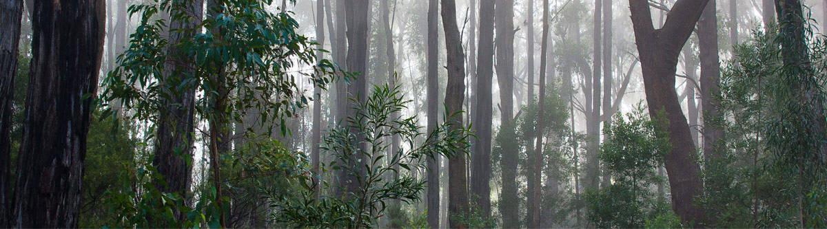 Eucalyptus forest in Australia.