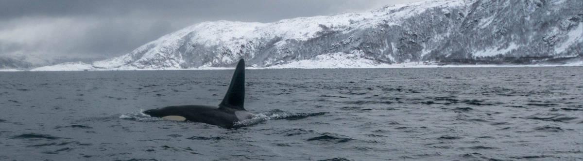 Orka in Noorwegen