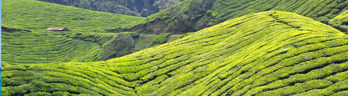Tea plantations of Malaysia.