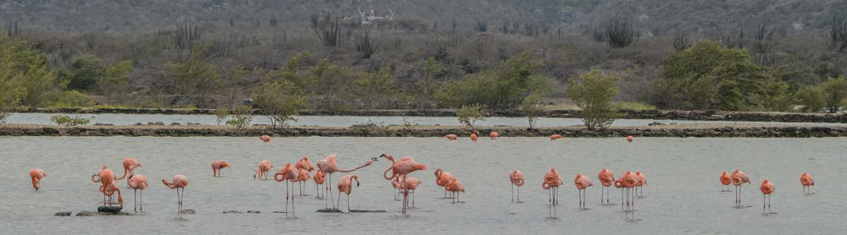 A salt water lake in Curacao with lots of flamingos.