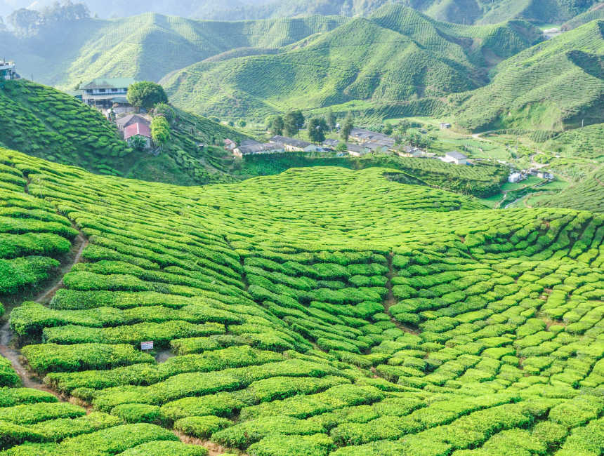 cameron highlands things to see in malaysia
