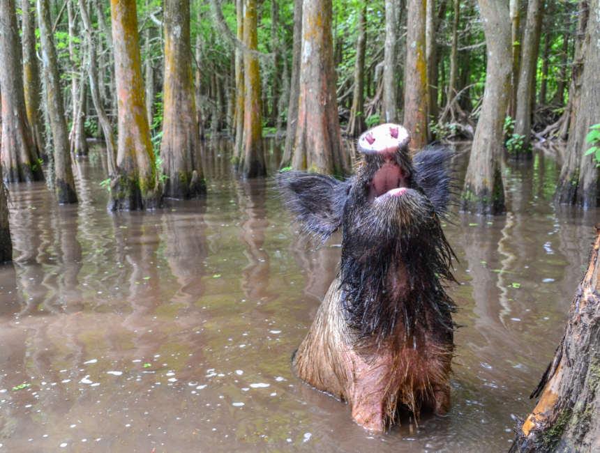 wild pigs bayou NOLA