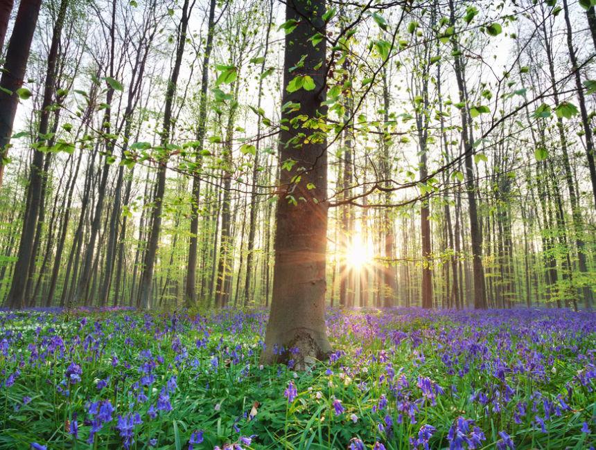 blue forest Belgium Hallerbos