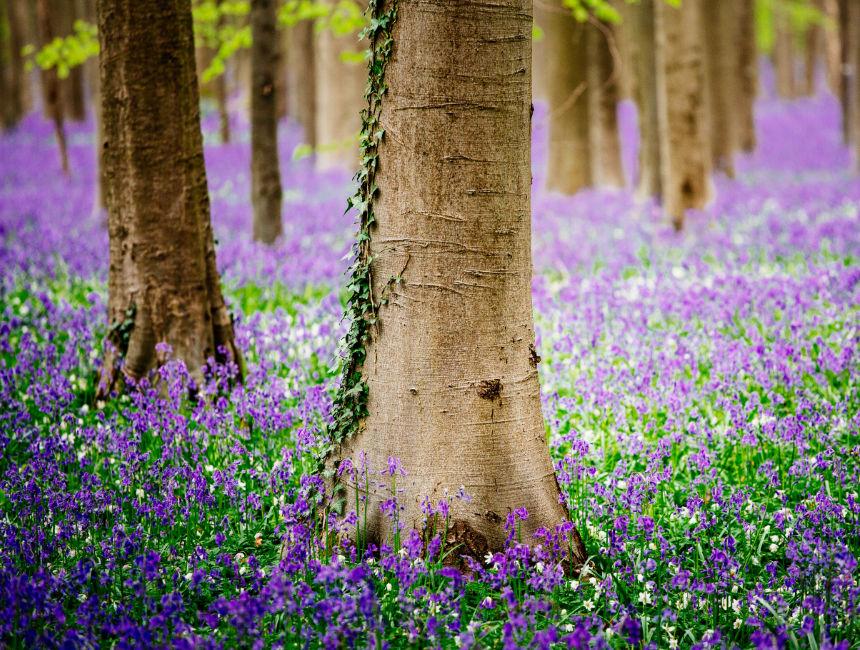 magical forest Belgium bluebells