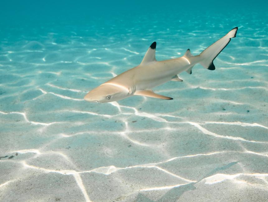 diving dominican republic shark