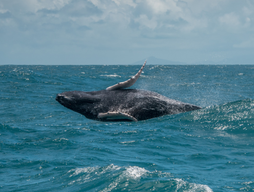 breaching whales Samana