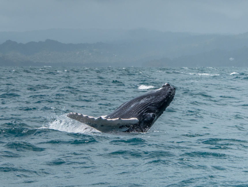whale watching samana dominican Republic