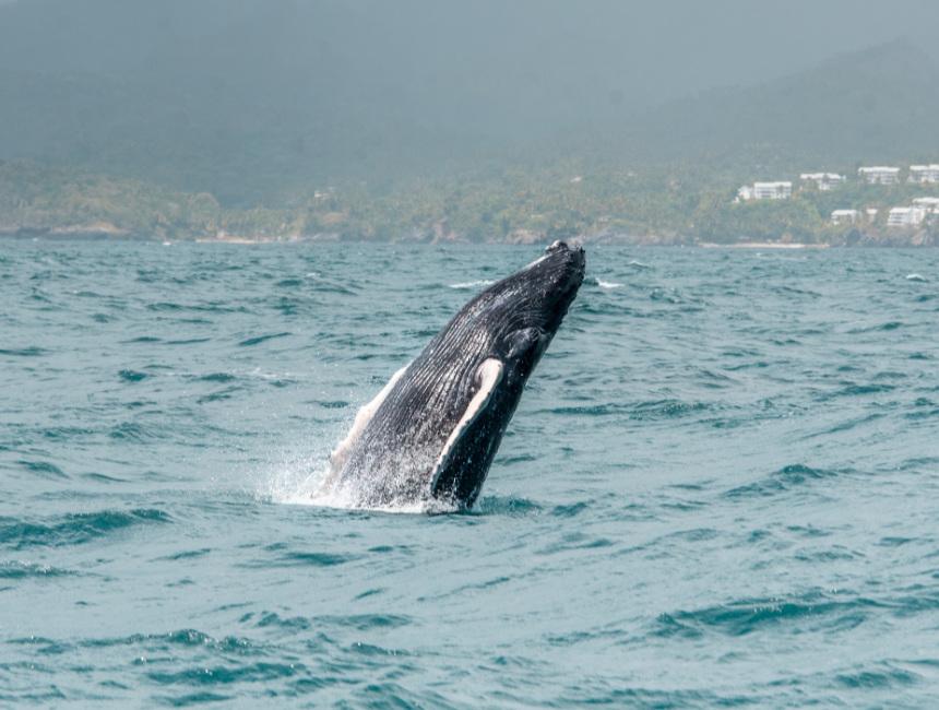 whale watching Samana price