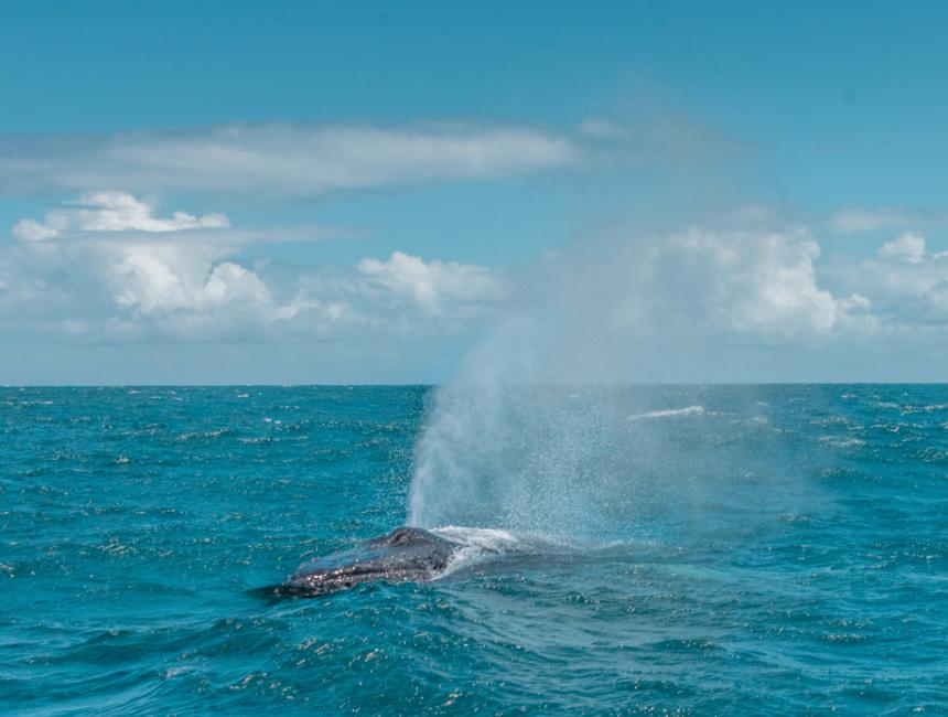 whales caribbean