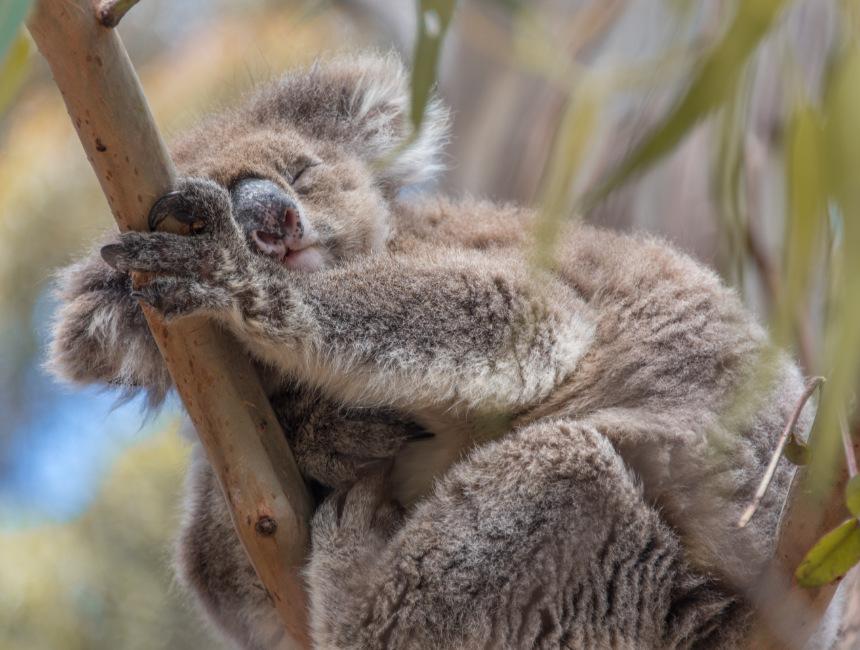 koala hanson bay wildlife sanctuary things to do on kangaroo island