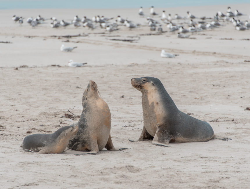 seal conservation park kangaroo island