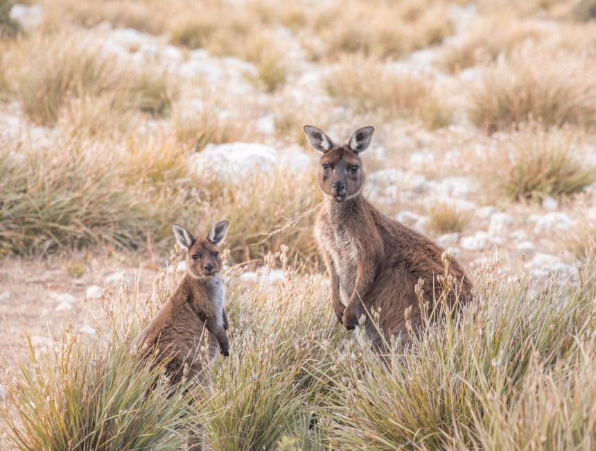 what to do on kangaroo island wildlife kangaroos