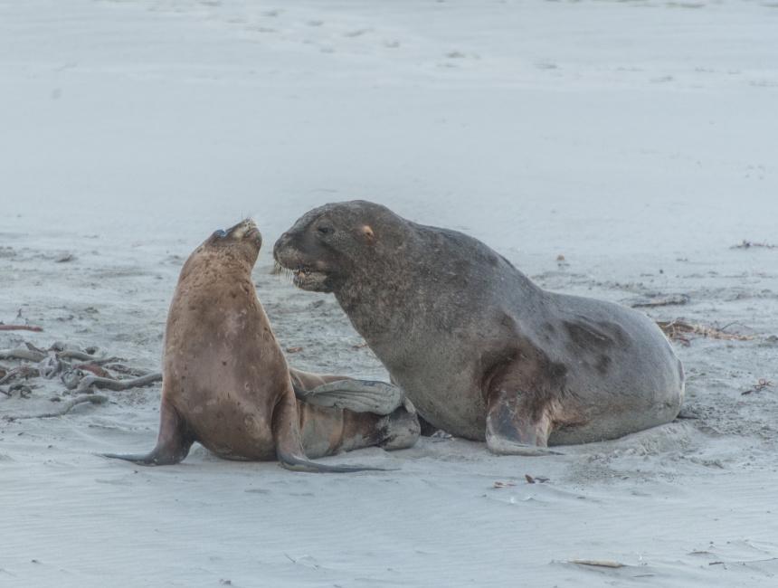 hooker sea lion otago peninsula