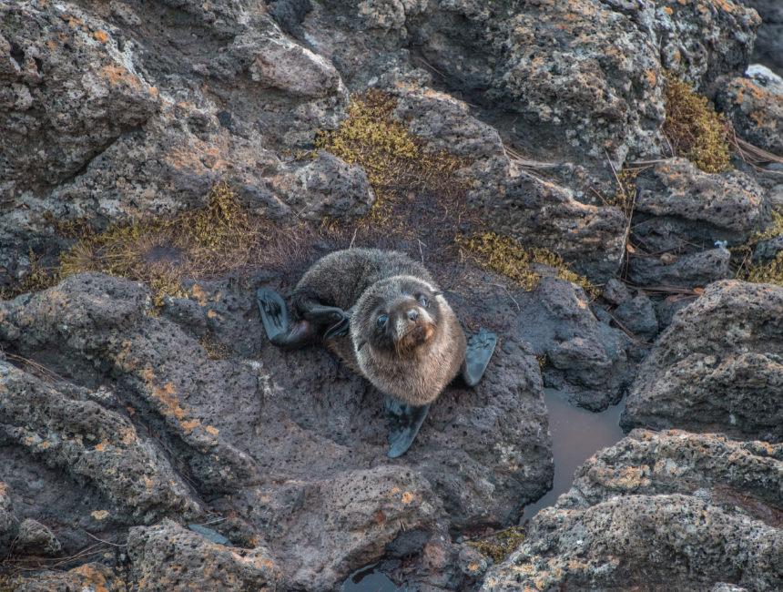sea lions new zealand seals