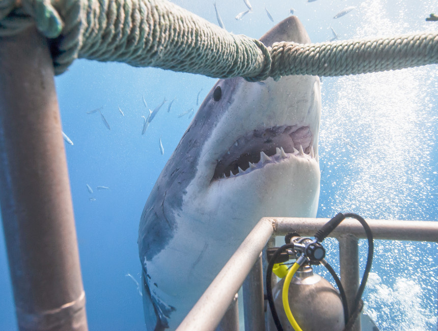 swim white shark australia things to see
